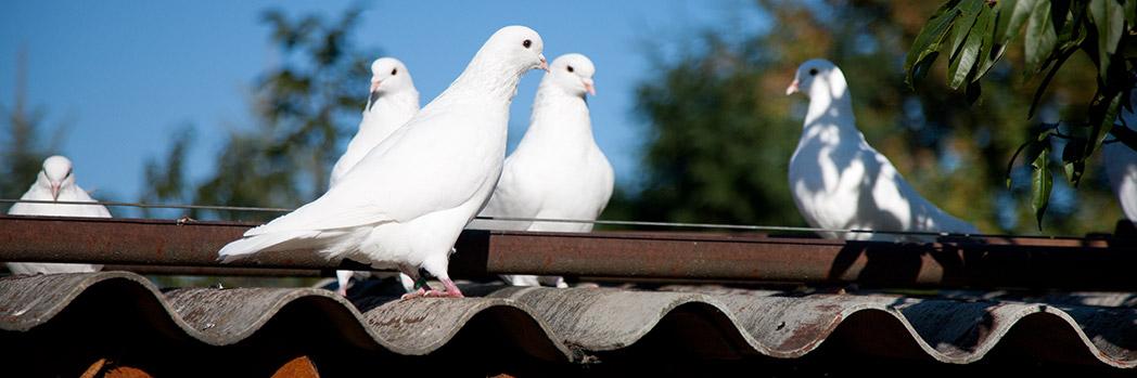 Rassegeflügel-Züchter-Verein